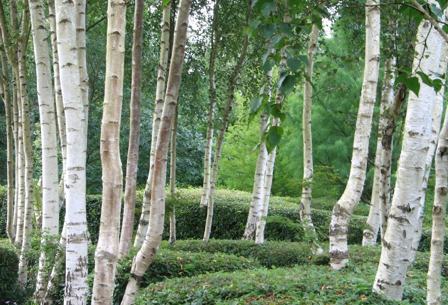 Tuin bomen on pinterest birches pear trees and grass for Silver birch trees for small gardens
