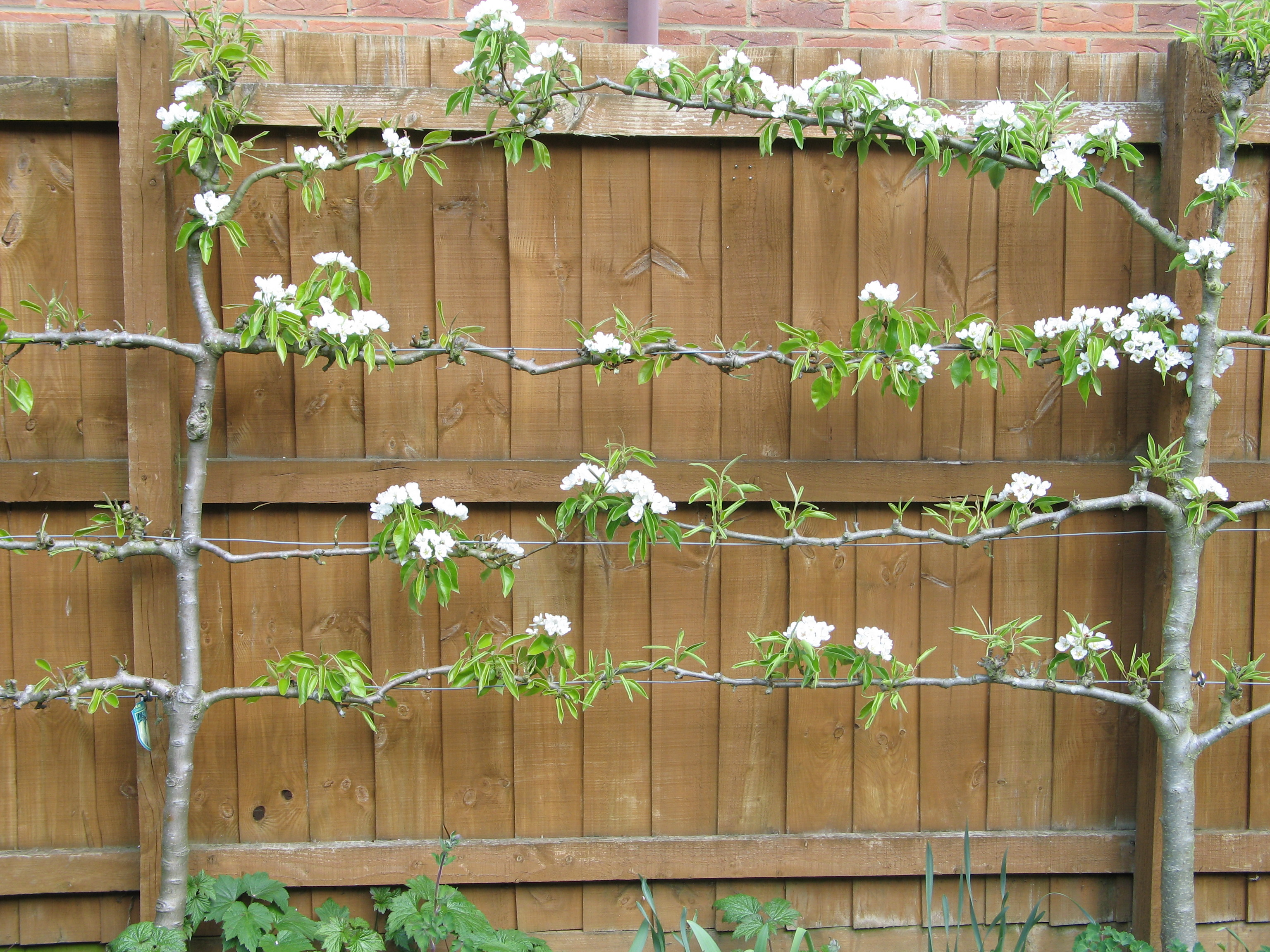 Landscaping With Pear Trees : Fruit trees for small gardens karen tizzard garden design