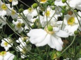 Autumn Flowers – Japanese Anemones