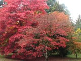 Autumn Acers