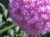 Architectural Plants – Alliums