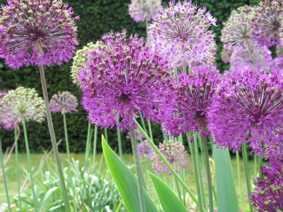 Mass Allium Planting for Impact