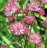Garden Design Favourite Perennials – Astrantia