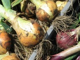 Hitchin Allotment Onions