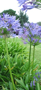 Garden Design Ideas Using Architectural Plants Agapanthus