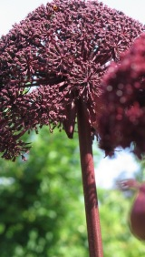 Garden Design Architectural Plants: Angelica Gigas